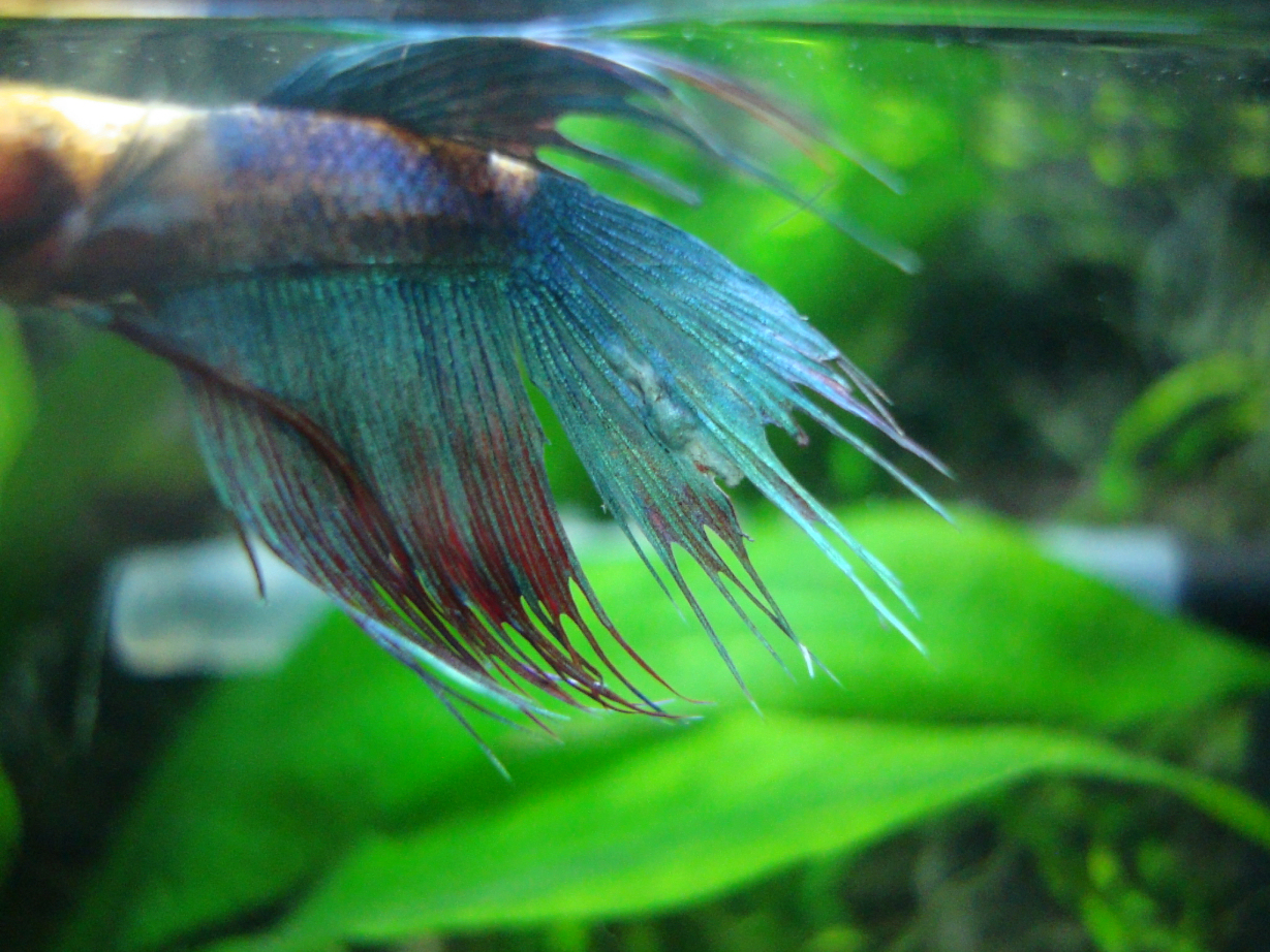 Several bumps lumps in male betta 39 s tail tropical fish for Betta fish life span
